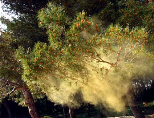С какво ни помага боровият прашец?